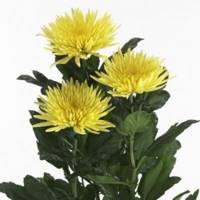 Хризантема Анастасия одн. желтая - 7 шт.