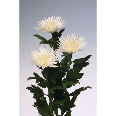Хризантема Анастасия одн. белая - 7 шт.