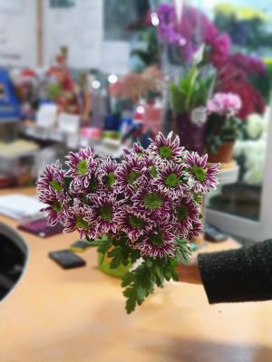 Хризантема кустовая  фиолетовая - 7 шт.