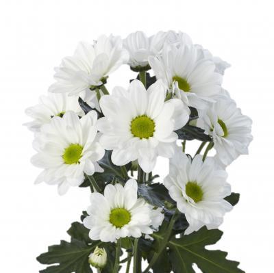 Хризантема кустовая бакарди белая - 7 шт.