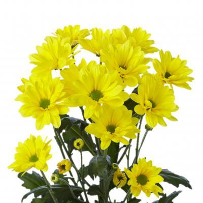 Хризантема кустовая Бакарди желтая - 7 шт.