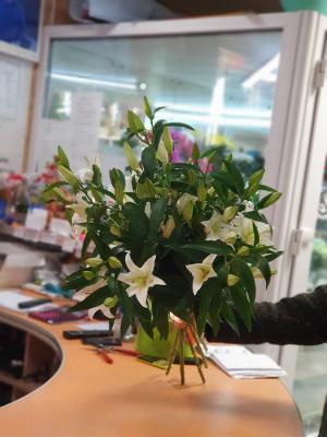Лилия Сибирия - 5 шт.
