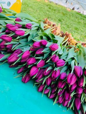 Тюльпан фиолетовый - 19 тюльпанов